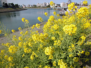 勝島運河の菜の花