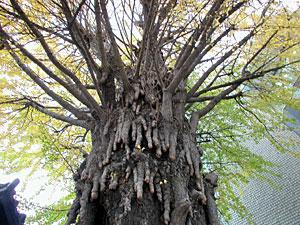 銀杏の老木