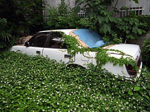 ドクダミに埋もれる車