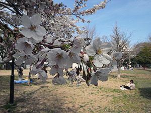 亀塚公園の桜