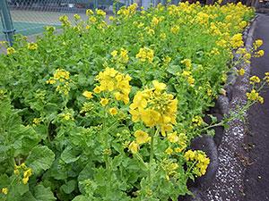 菜の花(日比谷公園)