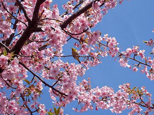 メジロと寒桜