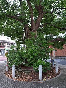 太田姫稲荷神社前のクスノキ