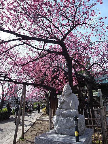 寒緋桜と恵比寿様