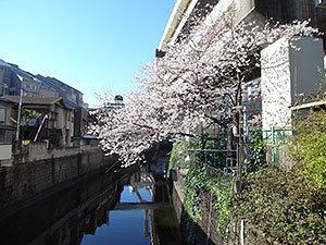 新広尾公園親水テラスの桜