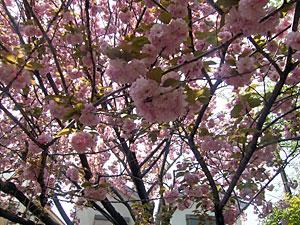 大和花公園の八重桜