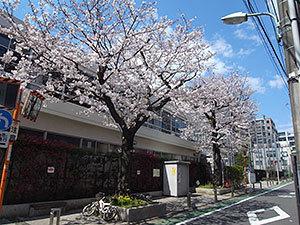 台場小学校の桜