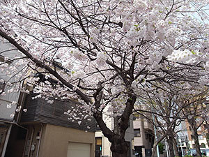 佃三角公園の桜