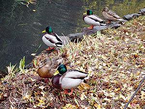 1宝来公園の鴨(田園調布)